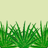 Aloe Vera plant background Stock Images