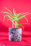 Aloe vera plant. Beautiful Aloe vera plat in a flower pot on a red background Royalty Free Stock Photo