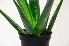 Aloe Stock Image