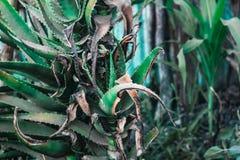 An aloe vera plant stock photos