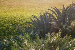 Aloe vera plant. Close up stock photos