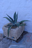 Aloe vera plant Royalty Free Stock Photos