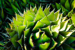 Aloe Vera Plant del deserto con le spine dorsali nere drammatiche Immagini Stock Libere da Diritti