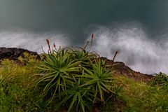Aloe vera plant and flowers on the shore line of Atlantic Ocean, Madeira, Portugal. royalty free stock photo