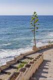 Aloe vera plant growing along the Mediterranean coast Royalty Free Stock Photo