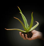 Aloe vera plant in hand. Close up of aloe vera plant in hand Stock Photography
