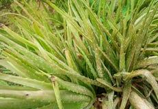 Aloe vera plant. Herbal plant Royalty Free Stock Photo