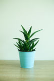 Aloe Vera Plant In Metal Blue Pot Royalty Free Stock Photography