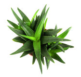 Aloe vera plant isolated on white Royalty Free Stock Photos