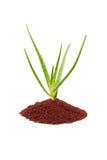 Aloe vera plant Stock Image