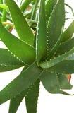 Aloe vera plant Stock Photos