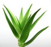 Aloe vera plant isolated on white Stock Photos