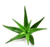 Aloe vera plant isolated on white Royalty Free Stock Photography