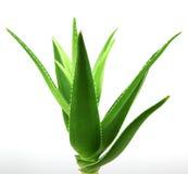 Aloe vera plant isolated on white Royalty Free Stock Photo