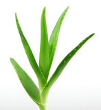 Aloe vera plant isolated on white Royalty Free Stock Images