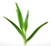 Aloe vera plant isolated on white Stock Image