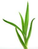 Aloe vera plant isolated on white Stock Images