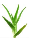 Aloe vera plant isolated on white Royalty Free Stock Photos