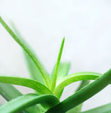 Aloe Royalty Free Stock Photos