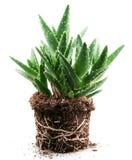 Aloe vera plant isolated on white background Royalty Free Stock Photos