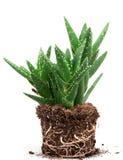 Aloe vera plant isolated on white background Royalty Free Stock Photo