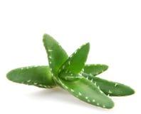 Aloe vera plant isolated on white background Royalty Free Stock Image