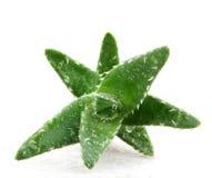 Aloe vera plant isolated on white background Stock Image