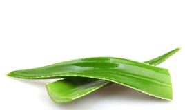 Aloe vera plant isolated on white background Stock Photography