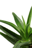 Aloe Vera plant isolated on white background Royalty Free Stock Photos