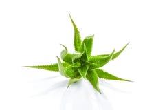 Aloe vera plant isolated on white background Stock Images