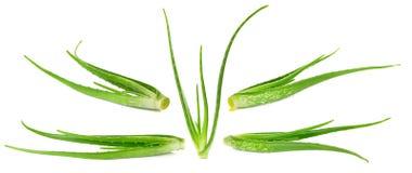 Aloe vera plant isolated on the white background Royalty Free Stock Photos