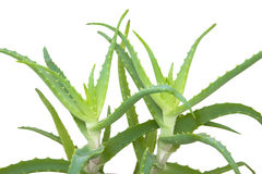 Aloe Vera plant leaves Royalty Free Stock Photography