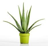 Aloe Vera Plant på krukan för gul gräsplan Royaltyfri Bild