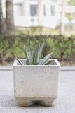 Aloe vera. Aloe vera plant in a pot of stone Stock Photography