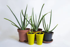 Aloe Vera Plant in pots Royalty Free Stock Photos