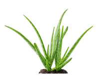 Aloe vera plant succulent with soil stock images