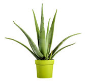 Aloe Vera Plant sul vaso di verde giallo Fotografie Stock Libere da Diritti