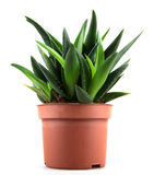 Aloe vera plant  on white Royalty Free Stock Images