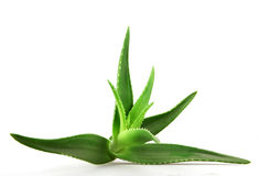 Aloe vera plant  on white background Royalty Free Stock Photography