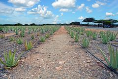 Aloe vera plantage on Aruba island Stock Image
