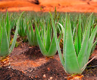 Aloe vera plantation Royalty Free Stock Photography