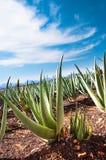 Aloe vera plantation Royalty Free Stock Photography