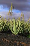 Aloe Vera plantation. Royalty Free Stock Image