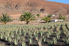 Aloe Vera plantation; Fuerteventura, Canary Islands. Royalty Free Stock Photos