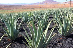 Aloe Vera plantation; Fuerteventura, Canary Islands. Royalty Free Stock Photo