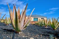 Aloe vera plantation at Fuerteventura Royalty Free Stock Photography