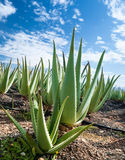 Aloe vera plantation on Furteventura Royalty Free Stock Images