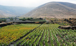 Aloe Vera Plantation in Lanzarote Royalty Free Stock Photography