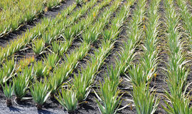 Aloe Vera Plantation in Lanzarote Stock Photo