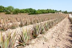 Aloe Vera: plantation of medicinal aloe vera Royalty Free Stock Photos